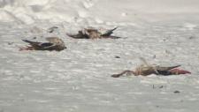 Dead ducks - Elliston Park