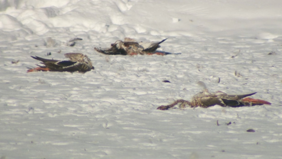 Alberta Environment and Parks has launched an investigation into the roughly 50 dead ducks in Elliston Park