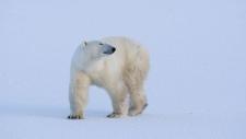 Polar bear near Churchill, Man. in 2007