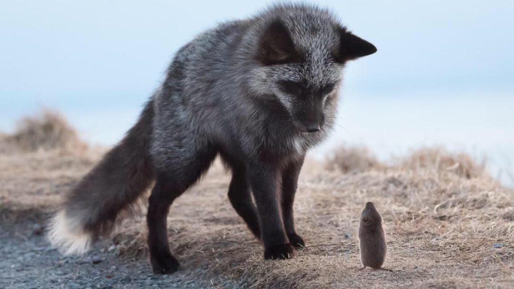 Caught on camera: Rodent's last stand against hungry silver fox