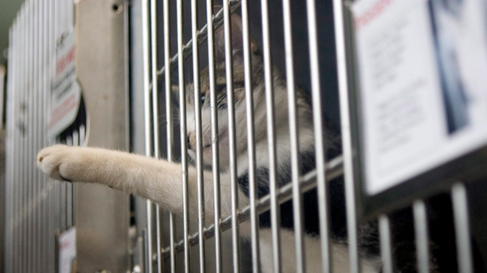 A caged cat reaches out it's paw inside the Toronto Humane Society building on Friday November 27, 2009. THE CANADIAN PRESS/Chris Young