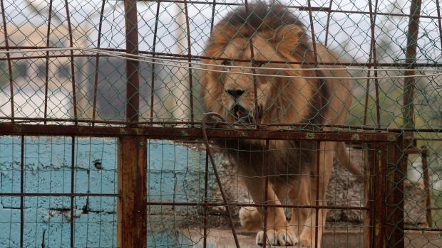 Man mauled to death by his pet lion inside its cage