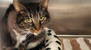 Onyx, a two-year-old tabby cat, was shot with a pellet gun and must now have his leg amputated, according to the BC SPCA. (Handout)