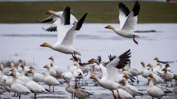 Booming snow goose population affecting shorebird habitat in Nunavut: study