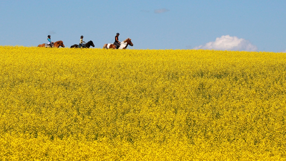 A woman and two young girls ride horses through a canola field near Cremona, Alta., Tuesday, July 16, 2013. THE CANADIAN PRESS/Jeff McIntosh