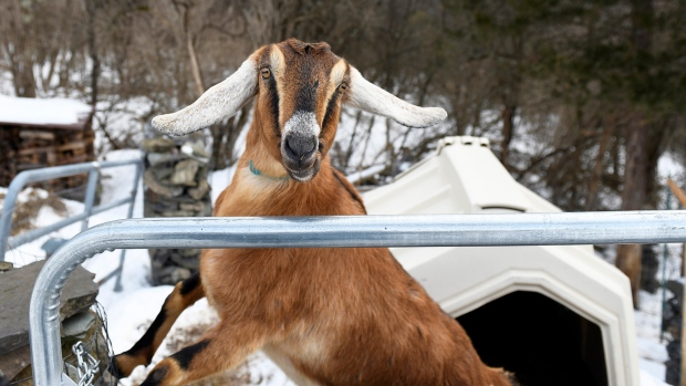 Lincoln, a 3-year-old Nubian goat,