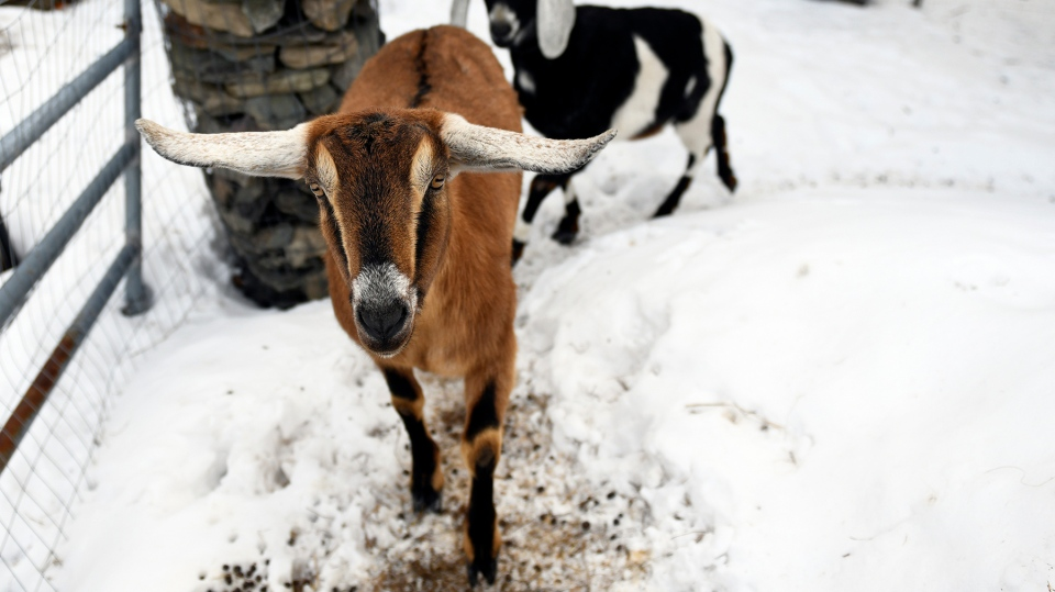 """Lincoln, a Nubian goat, runs around with pasture mate Lucy at their home in Fair Haven, Vt. Lincoln was recently elected """"Pet Mayor"""" on town meeting day. (/The Rutland Herald via AP)"""