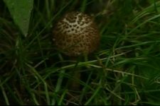 A poisonous mushroom, similar to what put Elizabeth Blais in hospital for 24 hours (July 28, 2009)