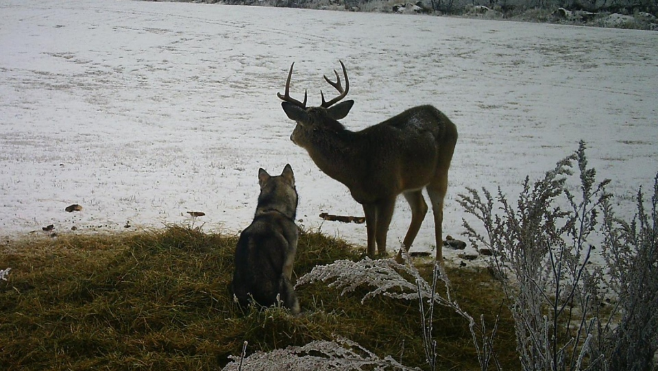 The friendship began after Koda disappeared for three days. (Source: Garry Suderman)