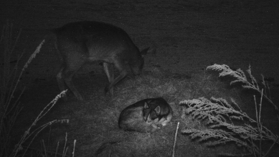 At night, the two animals appeared to stick together. (Source: Garry Suderman)
