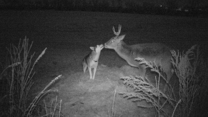 Photos captured on a hunting camera show an unusual bond between a domestic dog and a wild deer. (Source: Garry Suderman)