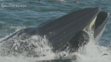 Whale nearly swallows diver