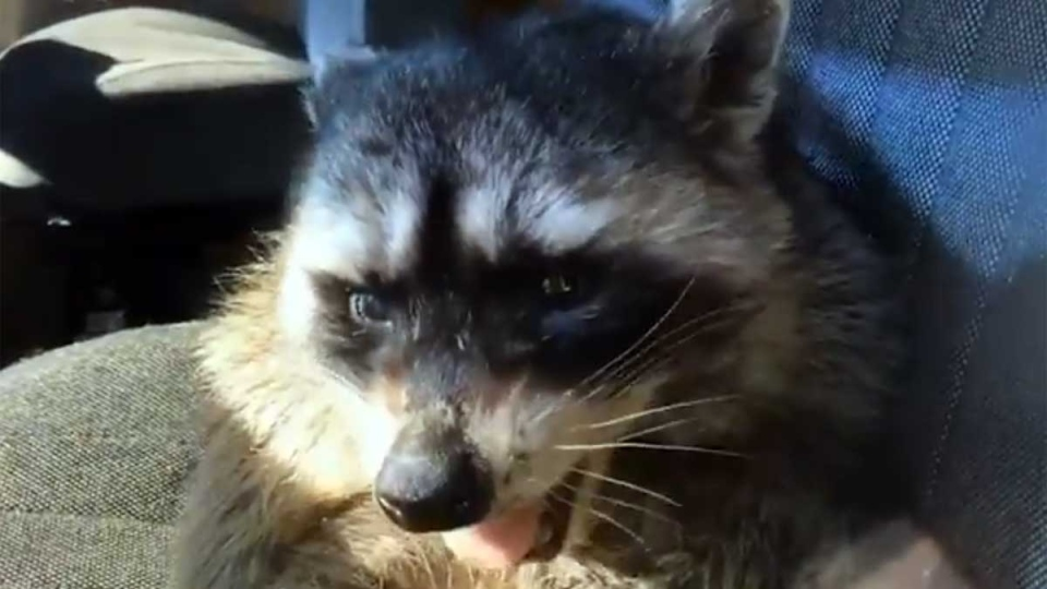 A still image from video shows a raccoon in a BC Hydro truck in March 2019. (BC Hydro / Twitter)