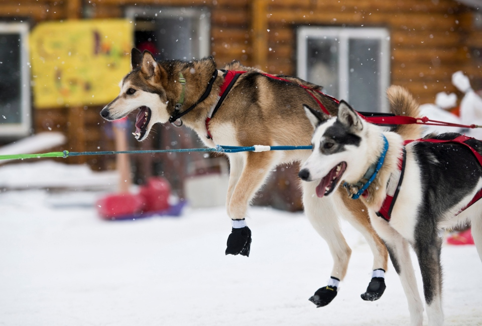 A dog in Travis Beals' team leaps after arriving in Shageluk, Alaska, during the Iditarod Trail Sled Dog Race, Friday, March 8, 2019. (Marc Lester/Anchorage Daily News via AP)