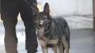 Police dog Doodz is seen in this photo provided by the BC RCMP.
