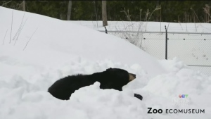 Trending: The bears are back in town