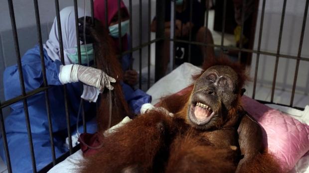 Hope the orangutan