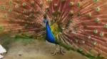 Trending: Peacock of the walk
