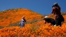 A model poses among wildflowers in bloom Monday, March 18, 2019, in Lake Elsinore, Calif. (AP Photo/Gregory Bull)