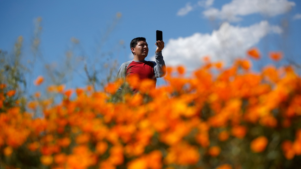 A man takes a picture among wildflowers in bloom Monday, March 18, 2019, in Lake Elsinore, Calif. (AP Photo/Gregory Bull)