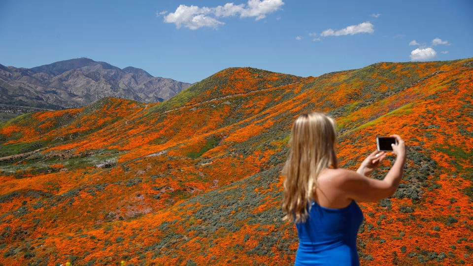 Renee LeGrand, of Foothill Ranch, Calif., takes a picture among wildflowers in bloom Monday, March 18, 2019, in Lake Elsinore, Calif. (AP Photo/Gregory Bull)