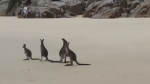Playful kangaroos have a blast on Aussie beach
