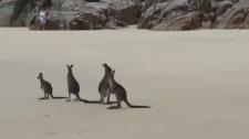 Playful kangaroos have a blast on Aussie beach