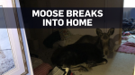 Moose found lounging inside Colorado home