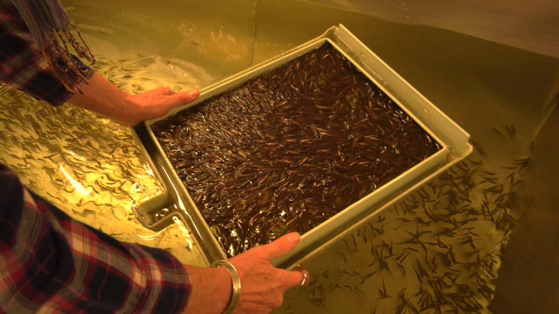 Salmon fry are pictured at the former Jack Brooks Fish Hatchery at Rocky Creek in 2019. The hatchery is now moving to a new facility in Sooke.