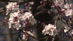 Cherry blossoms bloom in the final days of winter in Metro Vancouver.