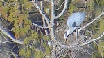 A Pacific great blue heron is seen through the Vancouver Park Board 'heron cam' on Wednesday, March 20, 2019.