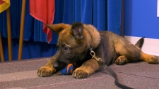 One of 13 German Shepherd puppies part of RCMP naming contest.