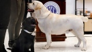Labrador retrievers 14-week-old Rummy, left, and 2 1/2-year-old Lincoln pose for photos at the Museum of the Dog, in New York, Wednesday, March 20, 2019. (AP Photo/Richard Drew)
