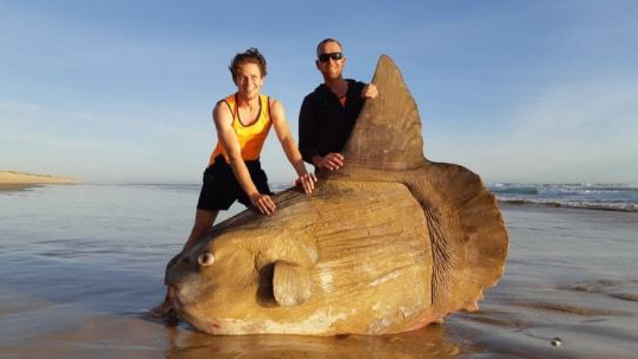Photos of a giant sunfish washing up on an Australian beach are going viral, after being snapped by a fisherman who initially mistook the creature for driftwood. (National Parks South Australia/Facebook via Linette Grzelak)