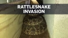Dozens of rattlesnakes slither into Texas house