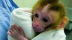 This undated photo provided by the Oregon Health and Science University in March 2019 shows a baby monkey named Grady, at two weeks old, born from an experimental technology that aims to help young boys undergoing cancer treatment preserve their future fertility. (OHSU via AP)