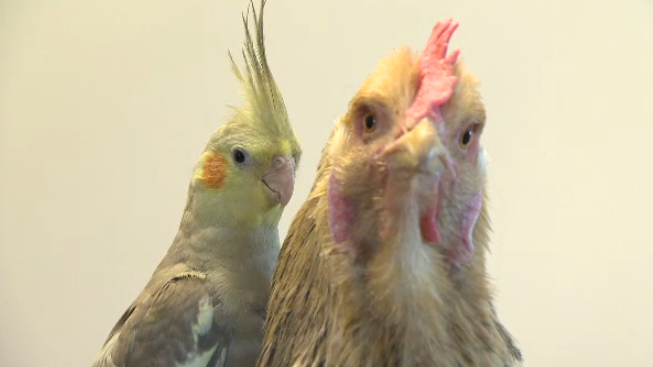 A cockatiel sitting on a chicken's back