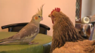 Banny the cockatiel, left, gazing at Shorty the chicken.