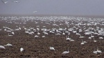 CTV London: Tundra swans