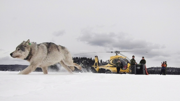A wolf is released onto Isle Royale National Park