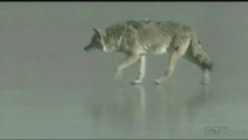 Pet owners in Sudbury are being warned about coyotes in the area this time of year and the threat they present. Molly Frommer reports.