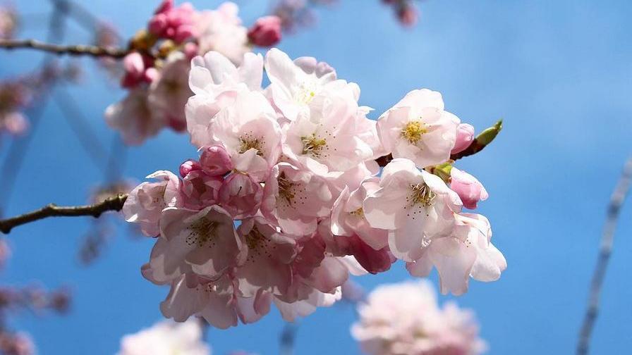 Cherry blossom season: Vancouverites share colourful captures on social media