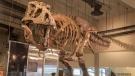 """""""Scotty"""" is the largest dinosaur skeleton ever found in Canada. (Tourism Saskatchewan)"""