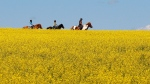 A woman and two young girls ride horses through a canola field near Cremona, Alta., Tuesday, July 16, 2013. Chinese importers have stopped buying Canadian canola seed, according to an industry group. (THE CANADIAN PRESS / Jeff McIntosh)