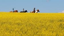 Canola field in Alberta