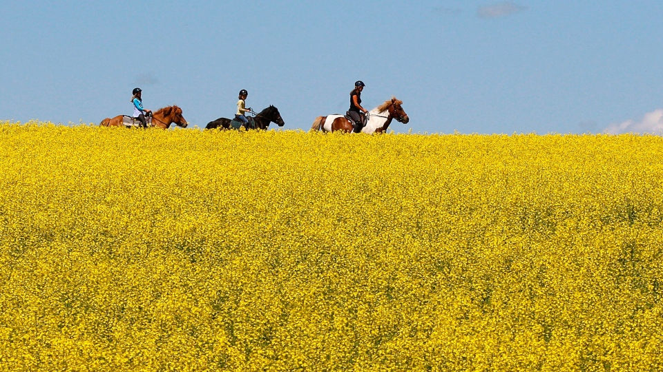 A woman and two young girls ride horses through a canola field near Cremona, Alta., on July 16, 2013. (THE CANADIAN PRESS / Jeff McIntosh)