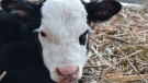 Cute baby calf from Hartney, MB. Photo by: Dylan Bertholet