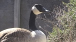Police investigate Canada goose shot with arrow