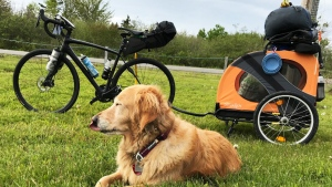 Ginger the golden retriever is set to embark on a 150-day trek across the United States. (Brian Nadon)
