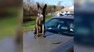 The Powhatan Sheriff's Office said their K9 Bane was able to find two missing boys in less than 15 minutes. (Powhatan Sheriff's Office / Facebook)